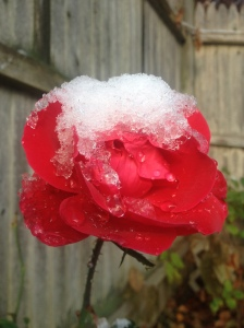 Mid-November Rose After Snowfall